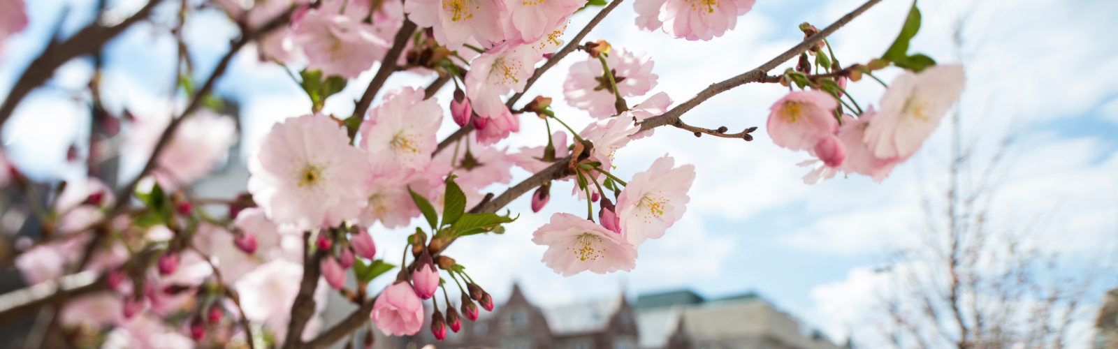 Crabapple blossoms on Library Mall