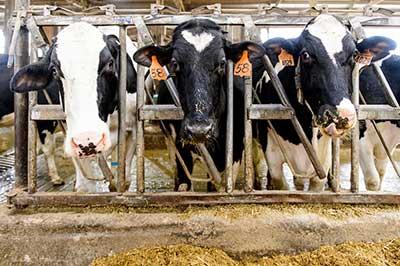 Dairy cows are pictured on UW alum Mitch Bruenig's farm near Roxbury