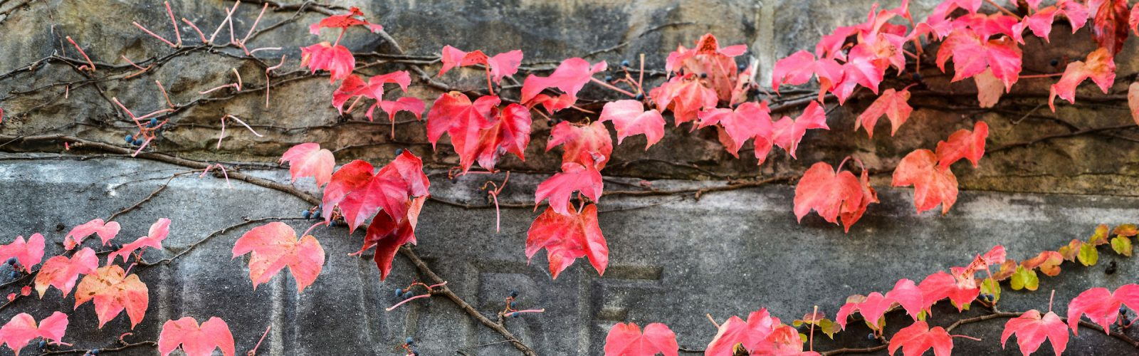 Red-hued ivy clings to the stone exterior of King Hall